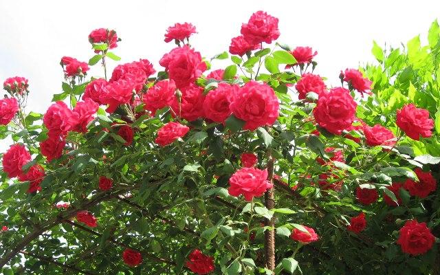 Red-Roses-Flower-Wallpaper