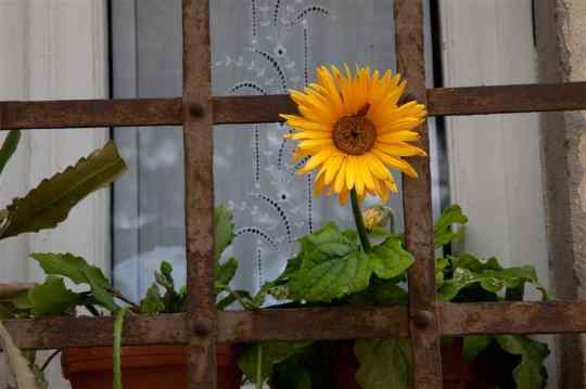 sunflower-in-window-box