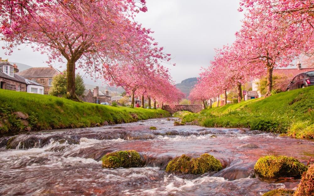 Japan-Sakura-Wallpaper-69k5m